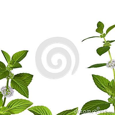 Green mint leaves frame on white