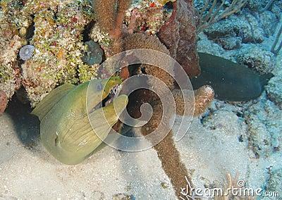 Green moray eel coral reef,roatan,honduras