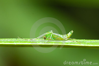A green mosquito
