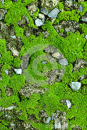Free Green Moss On The Stone. Mossy Rocks Background. Stock Photo - 95518480