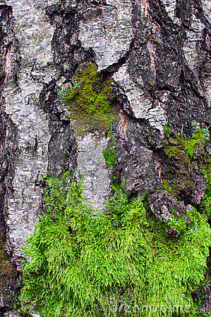Green moss on the trunk of birch tree