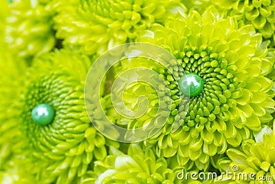 Green Mum Flowers