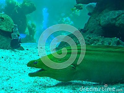 Green murena (moray)