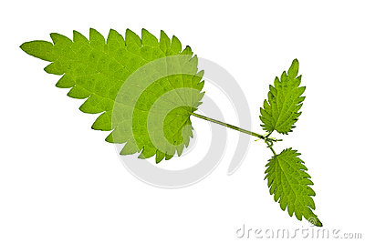 Green nettle isolated