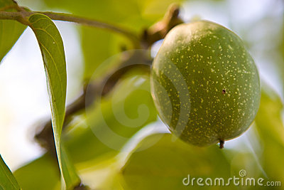 Green nut