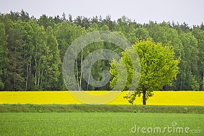 Green oak among a field with a rape
