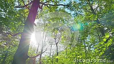 Green oak forest, panorama. Green oak forest, spring tilt panorama