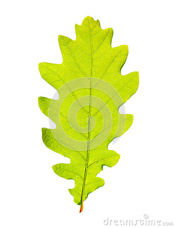 Free Green Oak Leaf Royalty Free Stock Images - 56366149