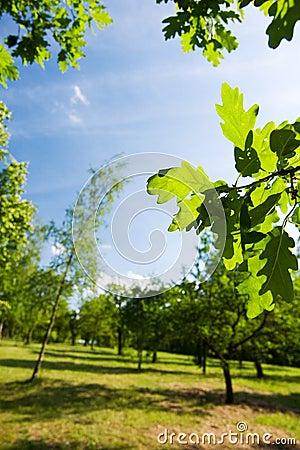 Green oak leaves - spring nature