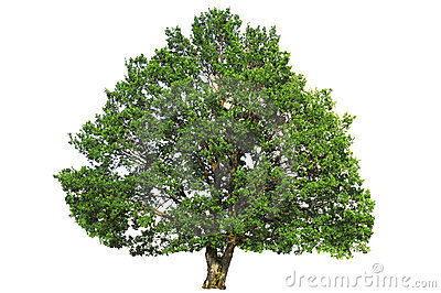 Green oak tree