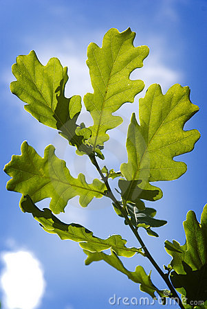 green oak tree leaves