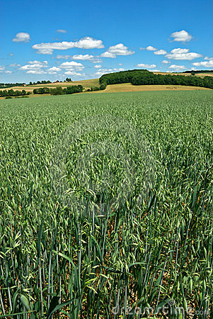 Green Oat Field