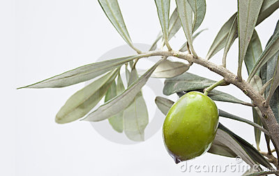 Green olive on branch