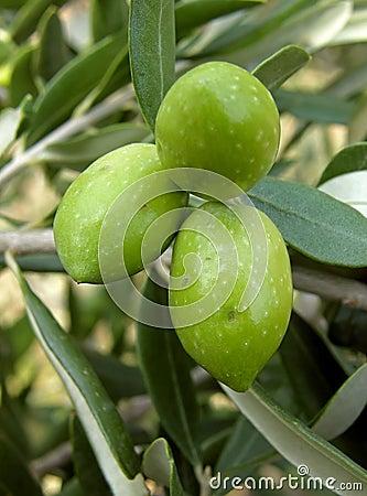 Green olive of Croatia