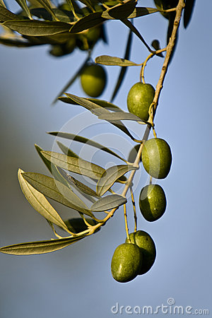 Green olives on branch with leaves