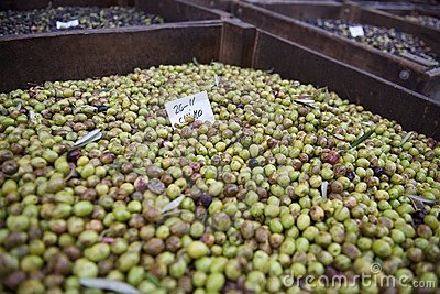 Green olives for processing into oil