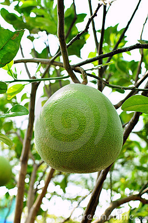 Green orange fruit tree