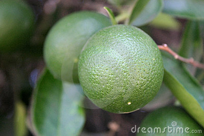 Green Oranges