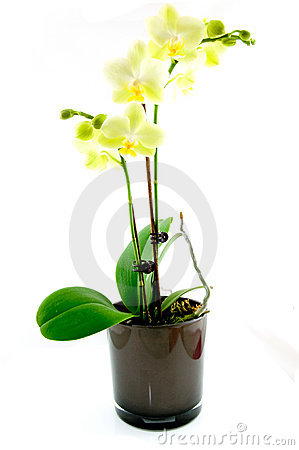 Free Green Orchid In Black Vase Stock Photography - 11625382