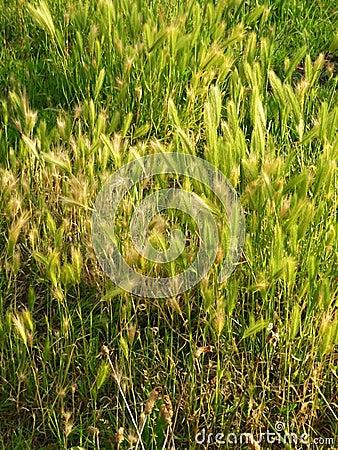 Green Overgrown Grass