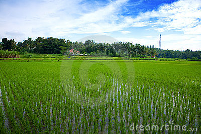 Green paddy field in the plains of Jogjakarta, Ind
