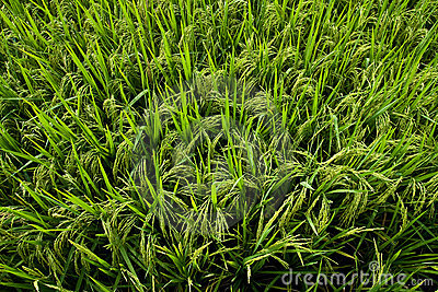 A green paddy field with rice grains about to ripe