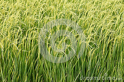 Green paddy rice in field.
