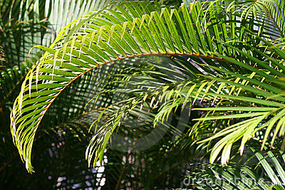 Green Palm Branches in Sunlight Stock Photo
