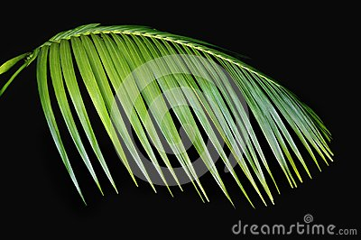 Green Palm Frond Agasint Black