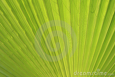 Green palm leaf close up