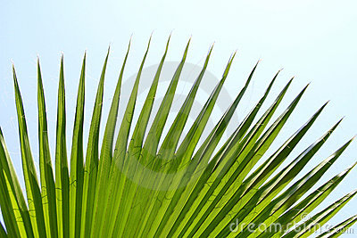 Green palm leaf with pointy edges