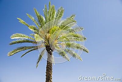 Green palm tree on blue sky background Stock Photo