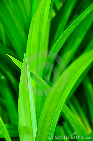 Green Pandanus Leaf