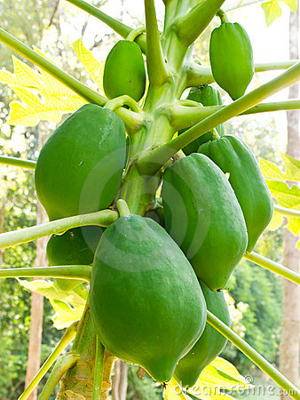 Green papaya on papaya tree