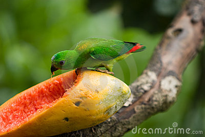 The green parrot eating papaya