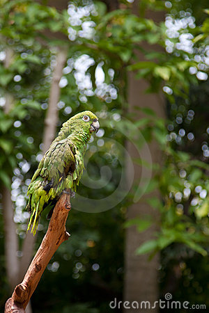 Green Parrot Standing on branches