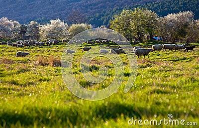 Green pasture sheep