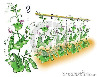 Green pea planting illustration