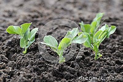 Green pea plants