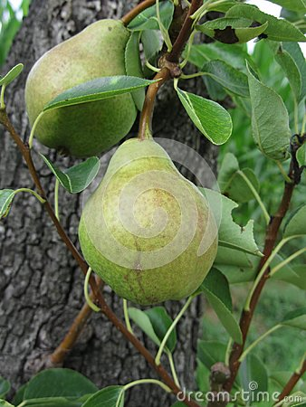 Free Green Pears Hanging On A Growing Pear Tree . Tuscany, Italy Royalty Free Stock Photo - 108253045
