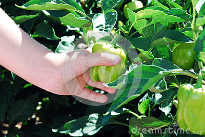 Green pepper in hands