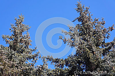 Green pine with big cones