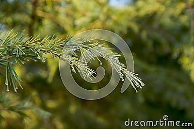 Green Pine branch dew