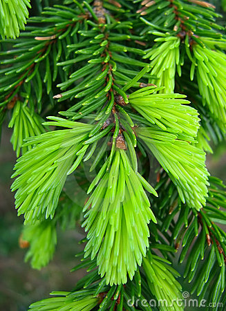 Free Green Pine Needles Royalty Free Stock Images - 12693629