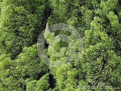 Green pine texture