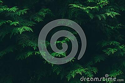 Green Pine Tree Leaves Free Public Domain Cc0 Image