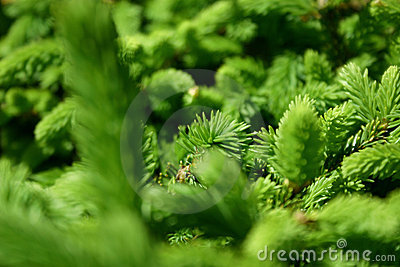 Green Pines