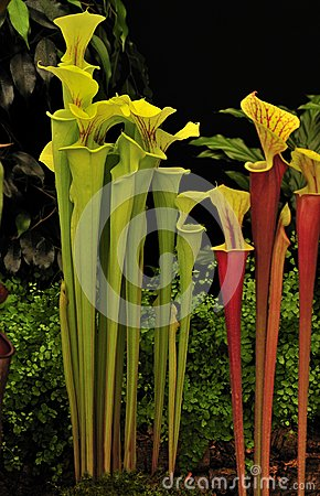Green pitcher plant (Sarracenia)