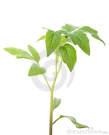 Green plant isolated