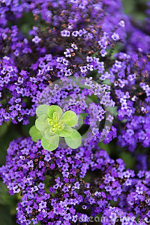 Free Green Plant Surrounded By Field Of Violet Flowers Royalty Free Stock Images - 112073589